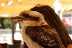 Kookaburra-oder der lachende Hans