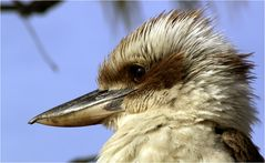 Kookaburra Portrait ...