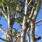 Kookaburra sits in the old gum tree...