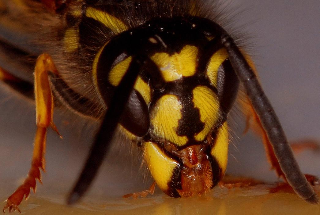 Kopf einer Honig schleckenden (gemeinen ... ) Wespe