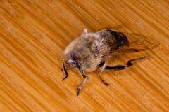 kopflose Biene