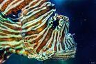 Kopfportrait Feuerfisch