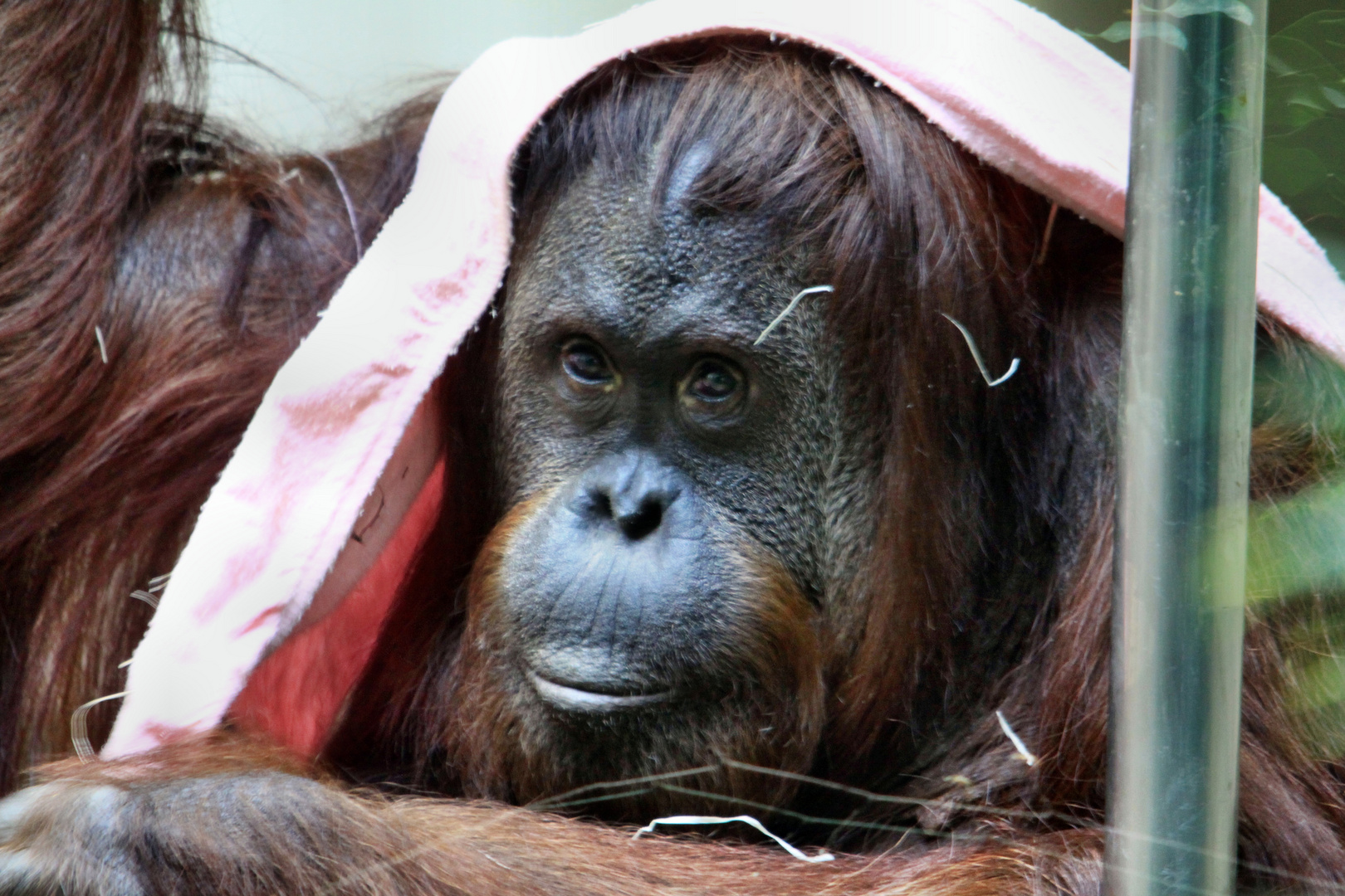 Kopftuch Affe