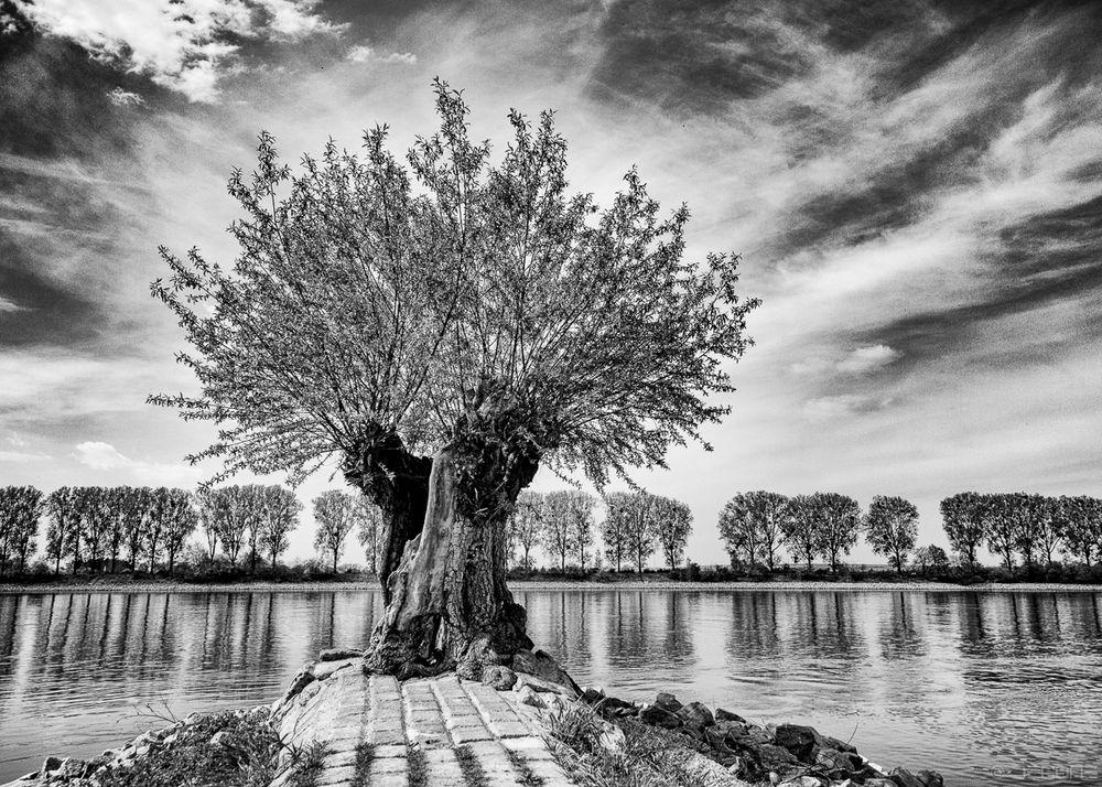 Kopfweide am Rhein