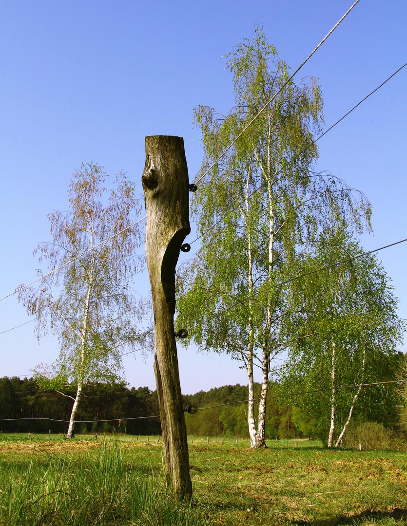 Koppelzaun am Birkenbaum