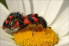 Kopula des Zottigen Bienenkäfers (Trichodes alvearius)