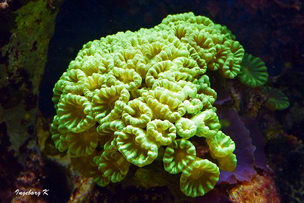 Koralle - Aquazoo Düsseldorf