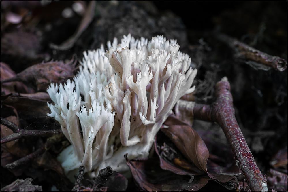 Koralle im Wald...