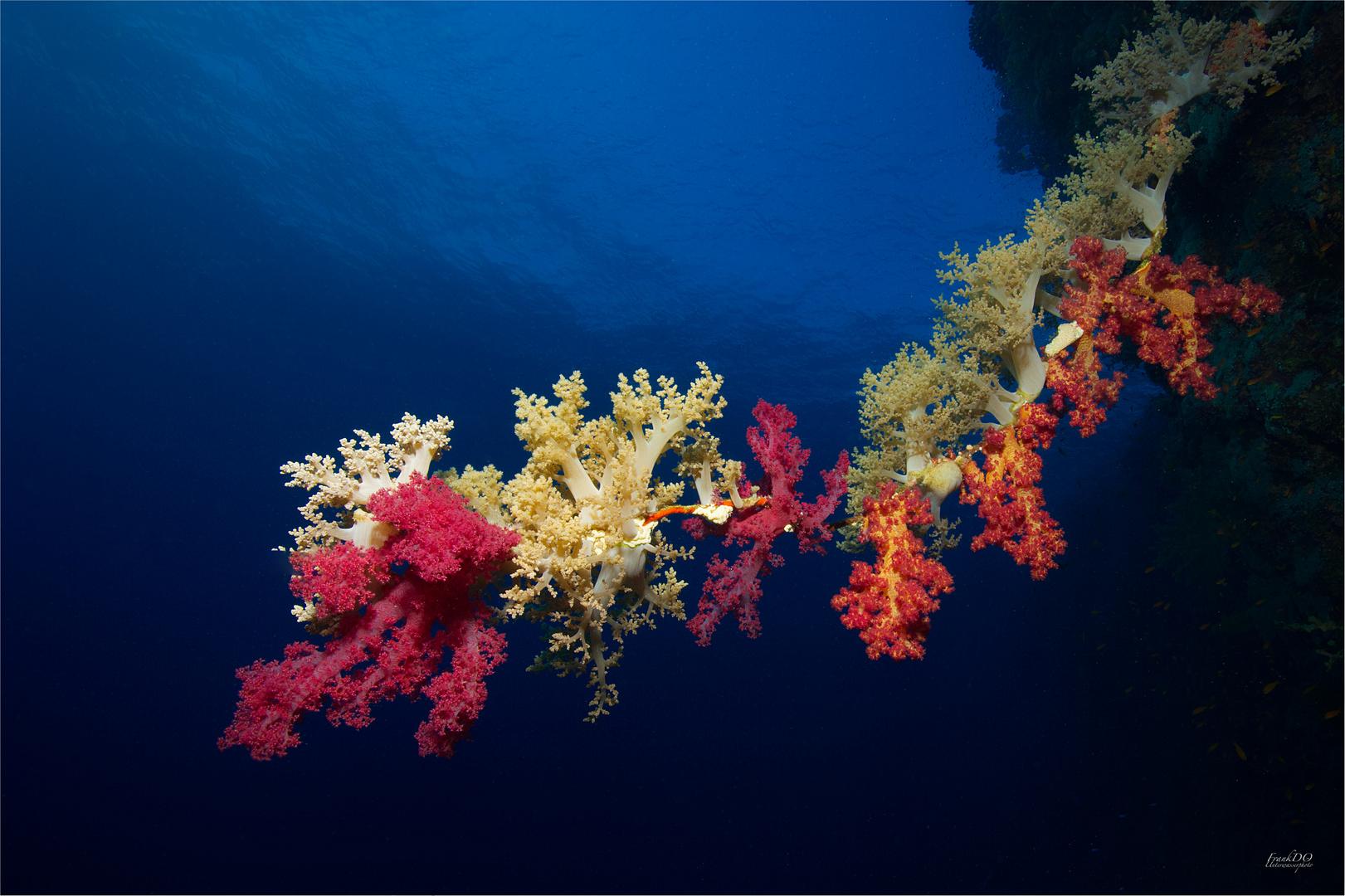 """""""Korallen Peitsche """""""