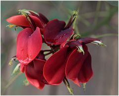 Korallenbaum-Blüten