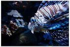 Korallenfisch