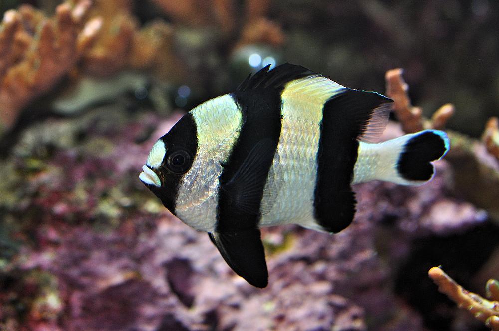 Korallenfisch.........