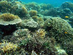 Korallengarten vor Malapascua