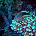 ...Korallenwächter...