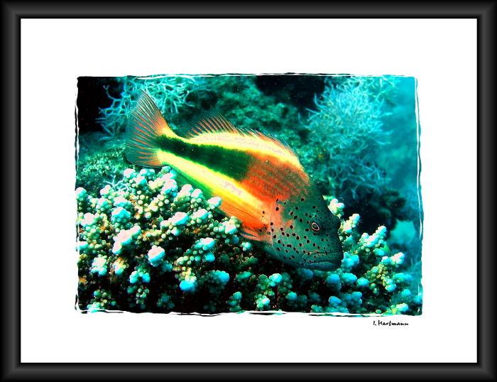 Korallenwächter - Paracirrhites forsteri