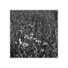Korbblütler an Süßgräsern