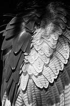 Kordillierenadler Detail