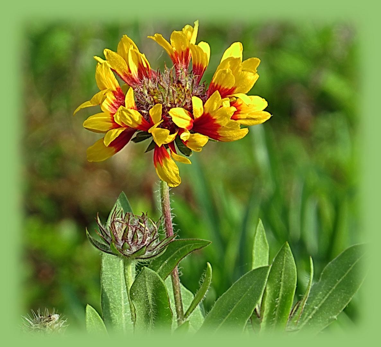 Korkardenblume - heute früh und wartet noch auf Sonne