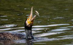 Kormoran auf Fischzug