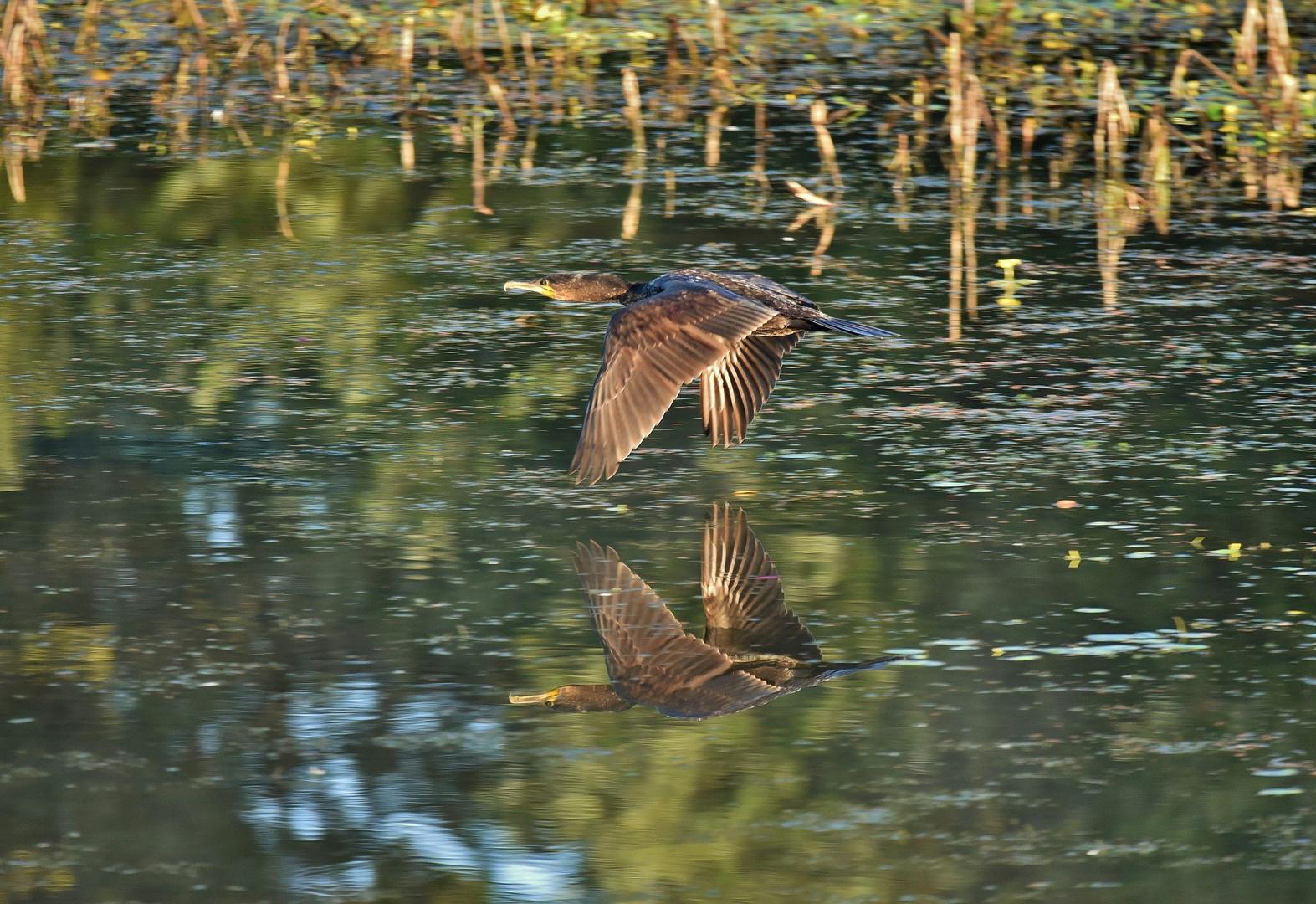 kormoran im flug foto  bild  tiere wildlife wild