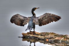 Kormoran in HDR