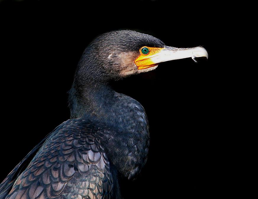 kormoran -noir