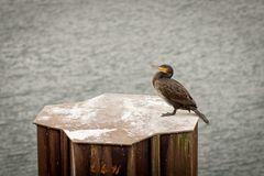 Kormoran - Vogel des Jahres 2010 in D und AT