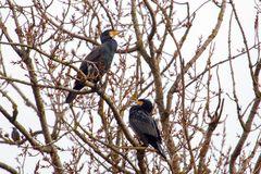 Kormorane hoch oben in den Baumwipfeln