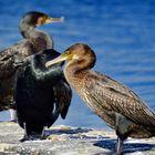 kormorane in der nordsee , nähe büsum