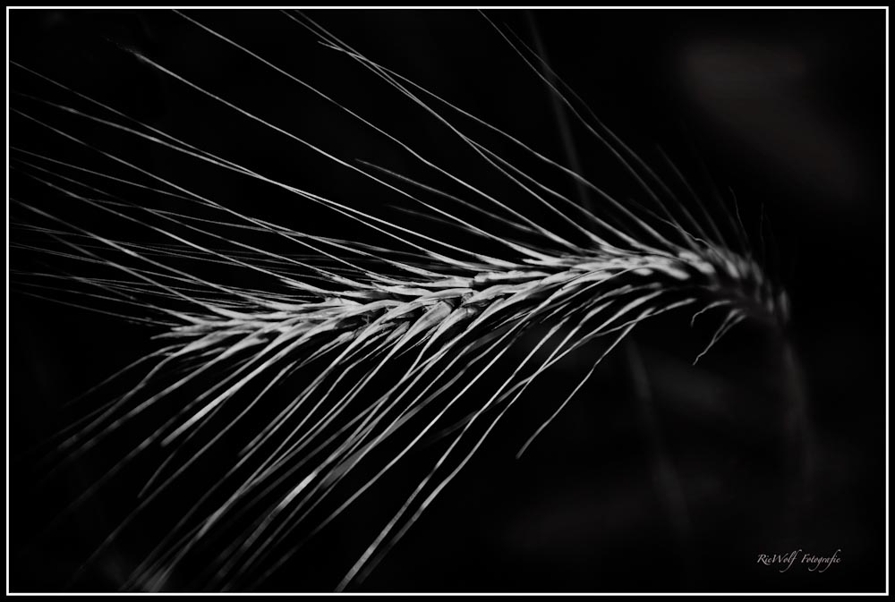 ---KORN-Blume