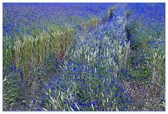 Korn Blumen Feld