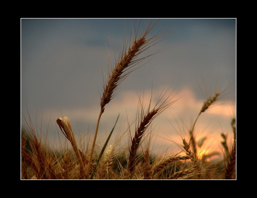 Korn im Abendlicht