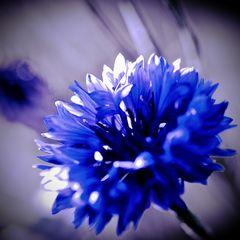 Kornblume in Blau