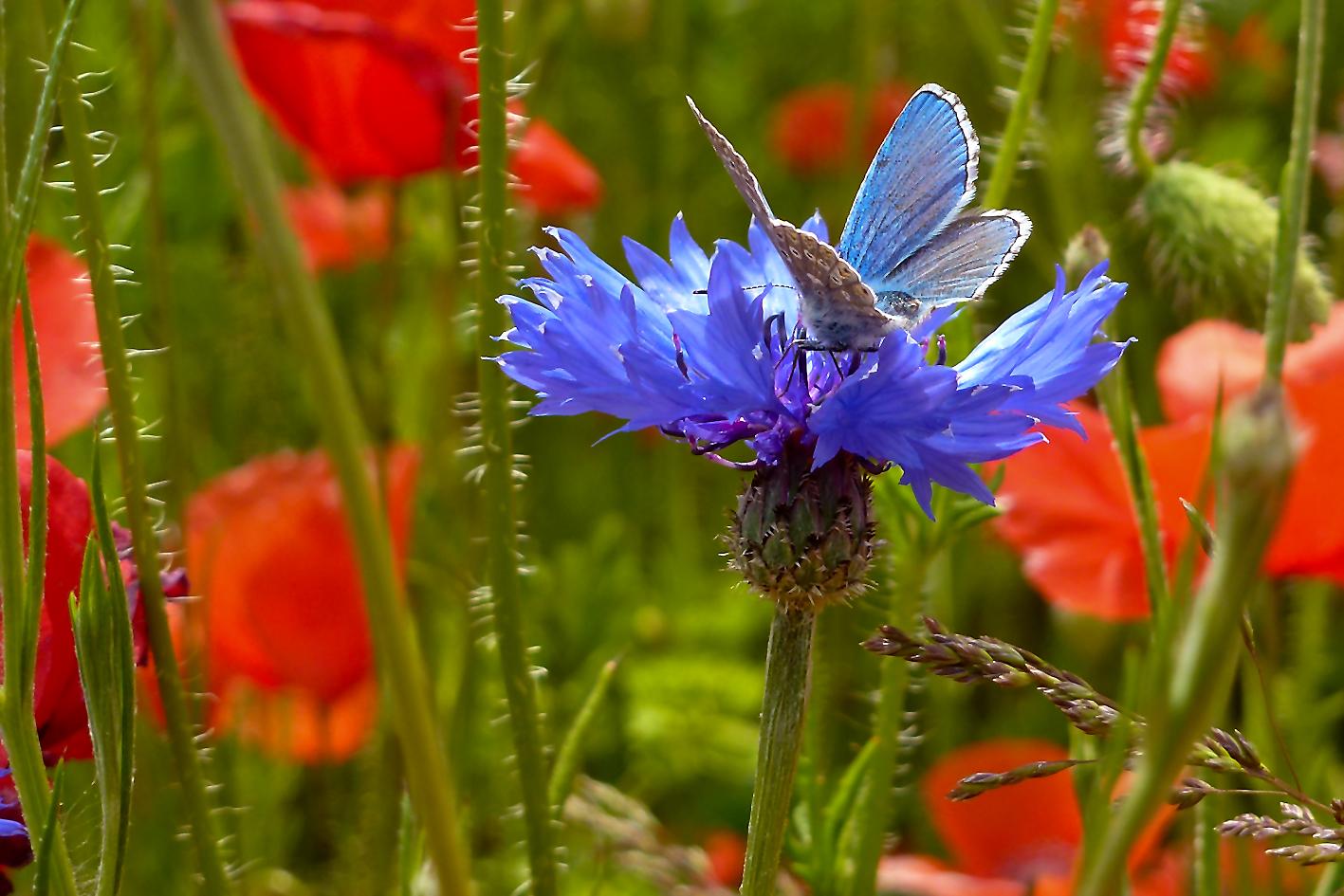 Kornblume mit Schmetterling