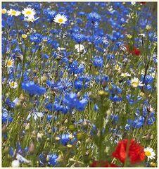 kornblumen 2   bearbeitet