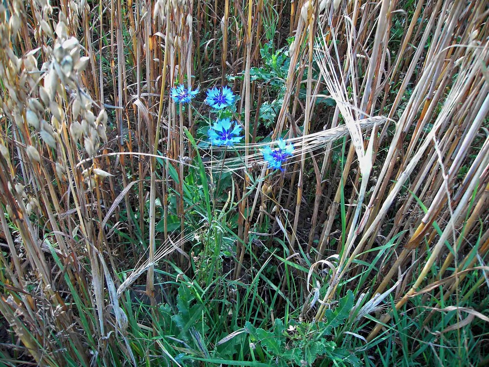 Kornblumen im Getreide 1