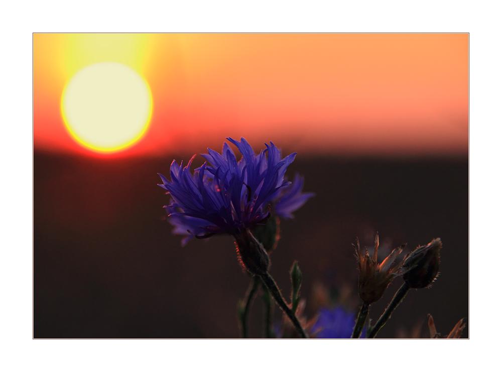 Kornblumen-Sommer... - oder: Alles Leben ist Licht...