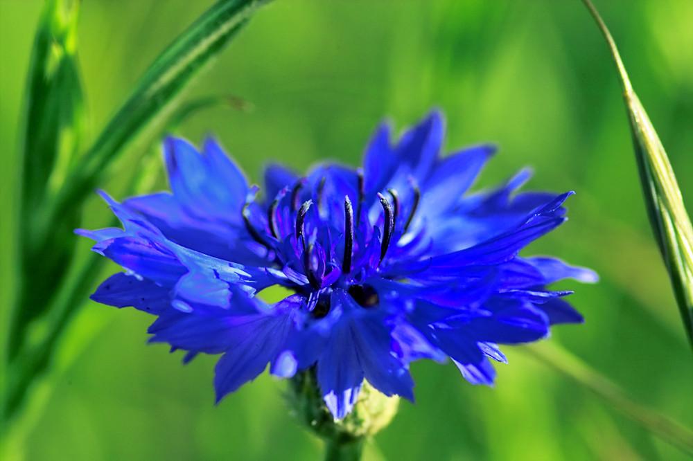 Kornblumenblaue Schönheit
