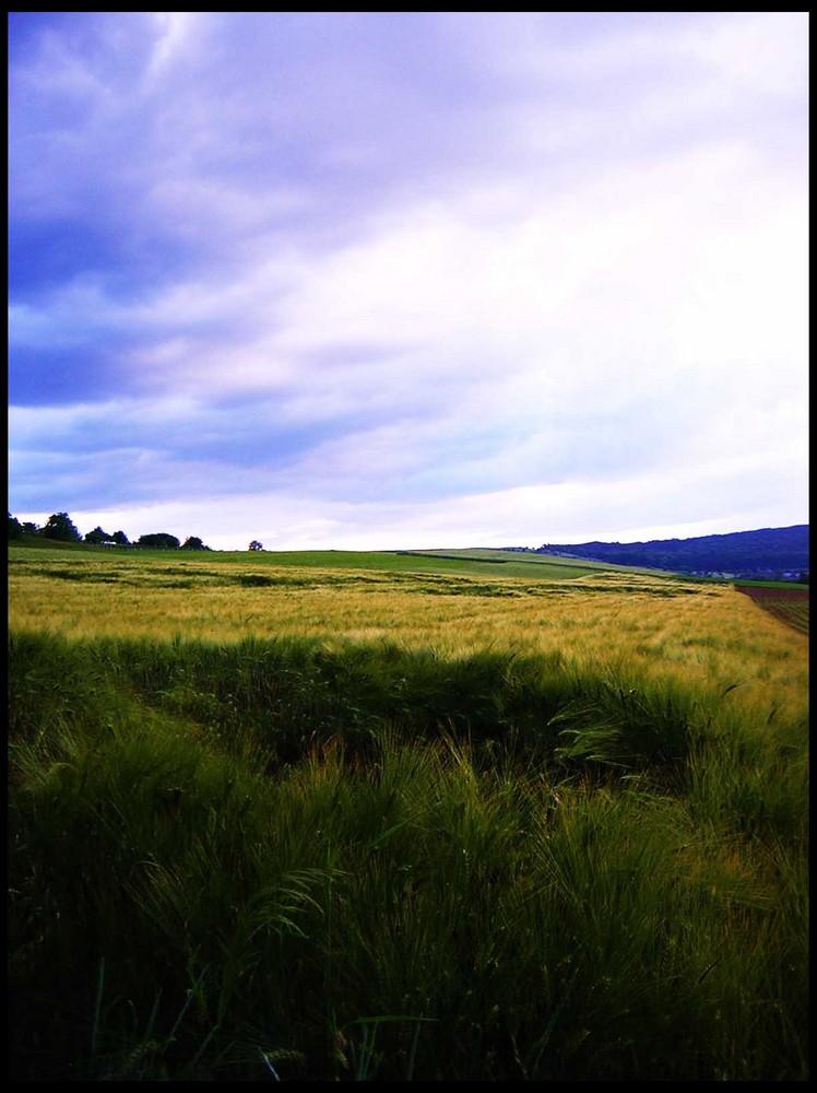 Kornfeld unter blauem Himmel