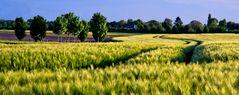 Kornlandschaft
