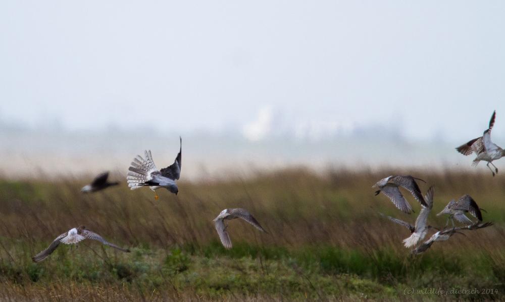 Kornweihe jagt  Große Brachvögel