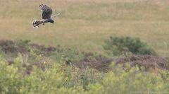 Kornweihe -Weibchen jagt wieder selbst