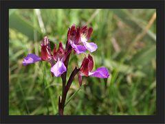 Korsische Orchidee