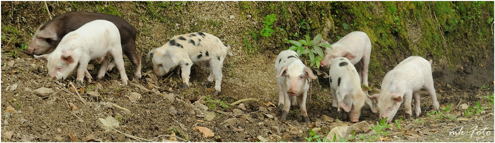 Korsische Schweinerei