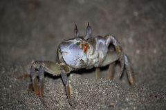 Krabbe am Roten Meer