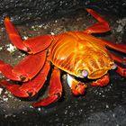 Krabbe auf den Galapagos