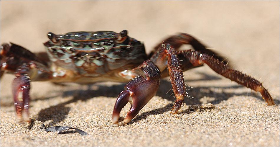 Krabbe auf der Flucht