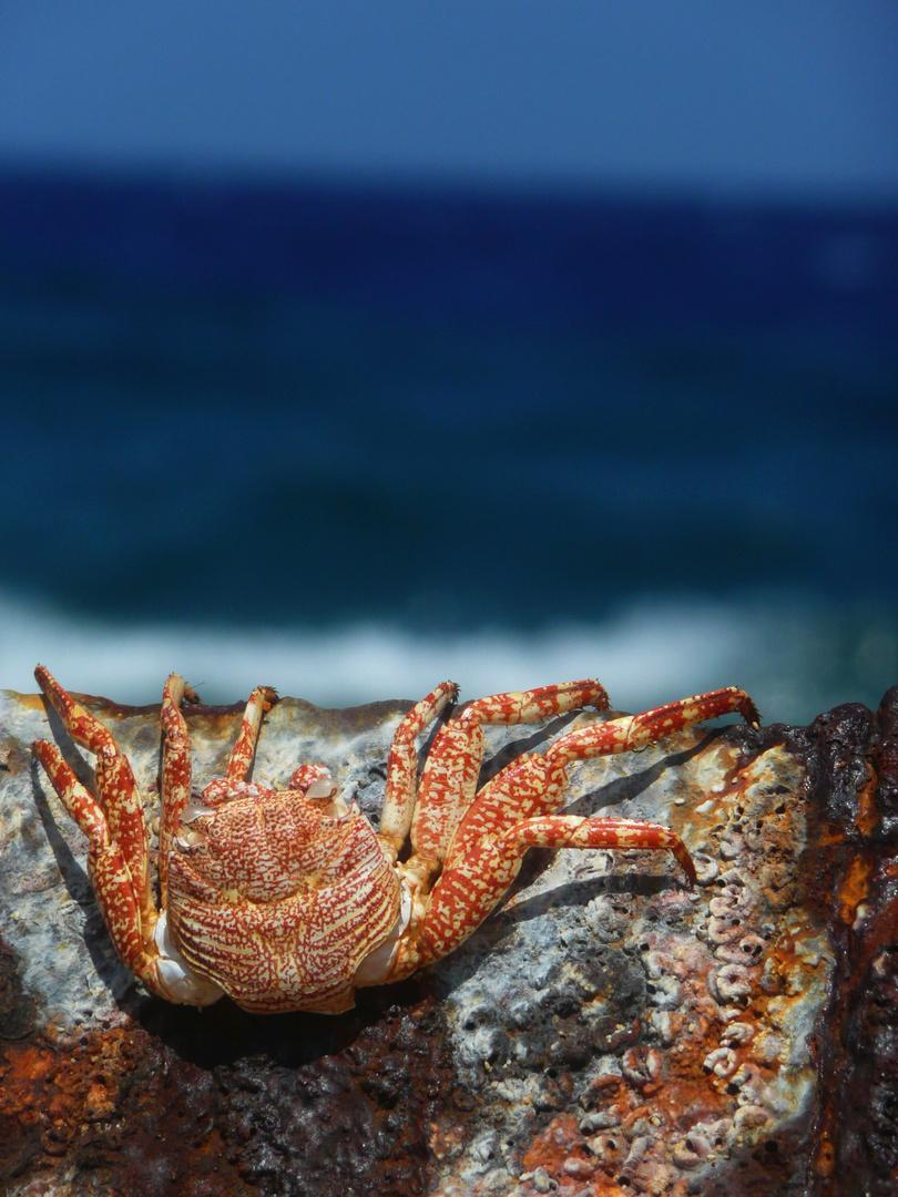 Krabbe auf Schiffswrack