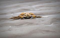 Krabbe auf Texel