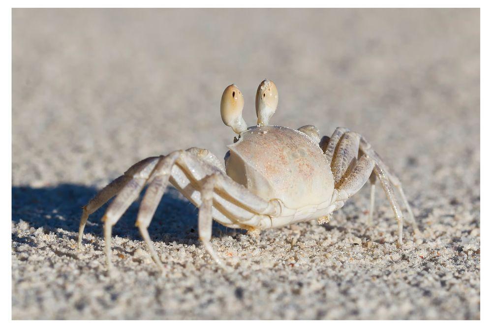 Krabbe ´guckt´